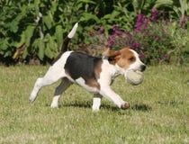 beaglen går Royaltyfri Foto
