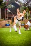 Beaglen som har rolig spring Royaltyfri Bild