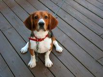 beaglepurebred Arkivfoto