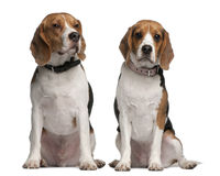 Beagles, 1 and 3 years old, sitting Royalty Free Stock Photos
