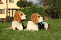 beagles Fotografia Stock