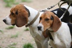 Beagles Imagenes de archivo