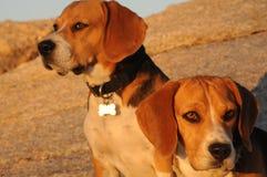 Beagles de oro Fotos de archivo libres de regalías