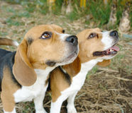 beagles dwa Fotografia Royalty Free