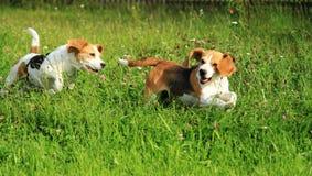 Beagles en el jardín Imagen de archivo libre de regalías