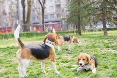 Beagles en parque Fotos de archivo libres de regalías