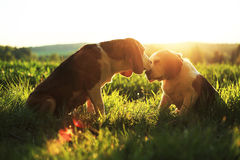 Beagles. Fall in love with gold sunny Royalty Free Stock Images