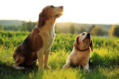 Beagles Stock Image
