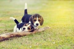 Beagles felices Imágenes de archivo libres de regalías