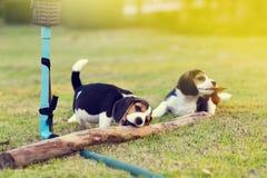 Beagles felices Fotografía de archivo libre de regalías