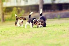Beagles felices Imagen de archivo libre de regalías