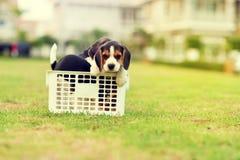 Beagles felices Foto de archivo libre de regalías