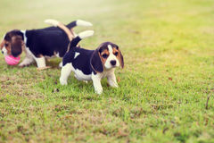 Beagles felices Foto de archivo