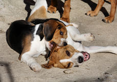 Beagles having fun Stock Photo