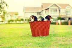 Beagles jovenes lindos Fotografía de archivo