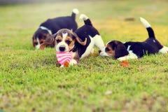 Beagles jovenes lindos Foto de archivo libre de regalías