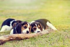 Beagles lindos Fotos de archivo