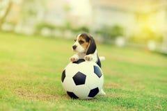 Beagles lindos Foto de archivo libre de regalías