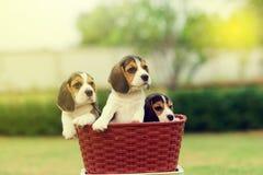 Beagles lindos Imágenes de archivo libres de regalías
