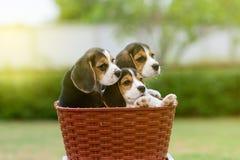 Beagles lindos Imagen de archivo