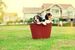 Beagles lindos Fotografía de archivo libre de regalías