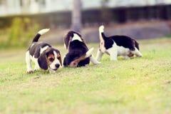 Beagles lindos Foto de archivo