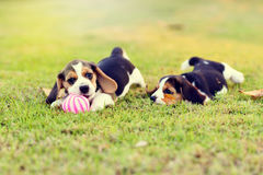 Beagles lindos Imagenes de archivo