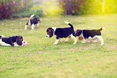 Beagles lindos en jardín Imágenes de archivo libres de regalías