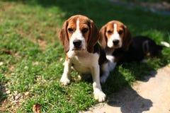 Beagles lindos que juegan en patio trasero Imagenes de archivo