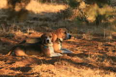 Beagles miesza wewnątrz Obraz Stock