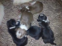 Beagles Royalty Free Stock Image