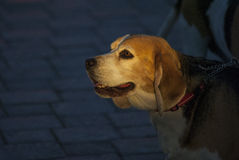 Beagles outdoor photo dog nature Stock Image