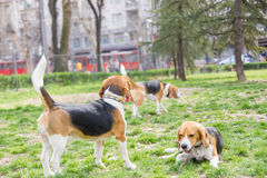 Beagles in park Royalty Free Stock Photos