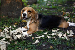 Beagles playtime Royaltyfri Foto