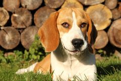 Beagle´s portrait Royalty Free Stock Photo
