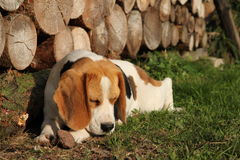 Beagles portrait Royalty Free Stock Photography
