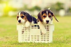Beagles que juegan en jardín Foto de archivo libre de regalías