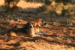 Beagles que mezclan adentro Imagen de archivo