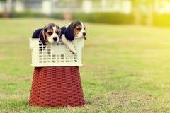 Beagles solos Fotos de archivo libres de regalías