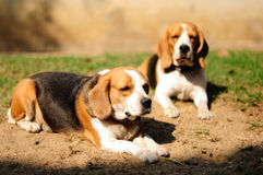 Beagles sunbathe on the yard and looking for something. Royalty Free Stock Photo