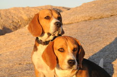 Beagles in the sunset sun Stock Photos