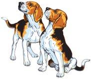 beagles två Arkivbilder