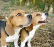 beagles två Royaltyfri Fotografi