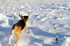 Beaglespring i snöig fält Ny vinterdag arkivfoton