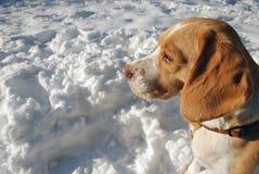 Beaglestående i snö Arkivfoton