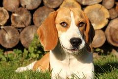 beaglestående s royaltyfri foto