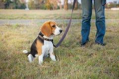 Beaglet går på lång ledning på parkera Royaltyfri Bild