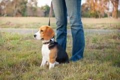 Beaglet går på lång ledning på parkera Fotografering för Bildbyråer