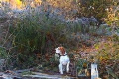 Beaglet i ottajakten i skogen royaltyfria foton