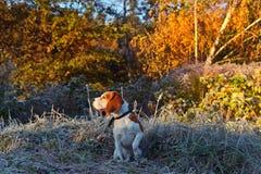 Beaglet i ottajakten i skogen royaltyfri foto